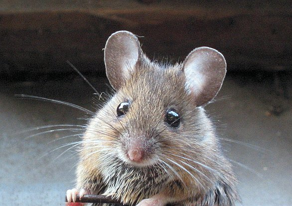 Bojová myš